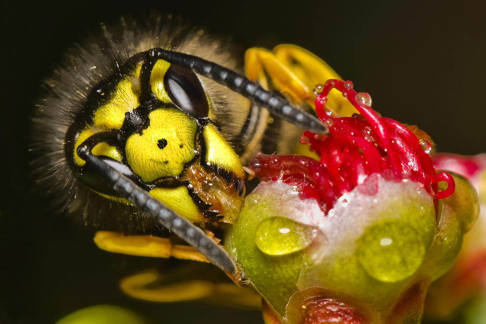 Wasp On Bud by Jason Town | Irish Times Amateur Photographer of the Year 2012 Shortlisted