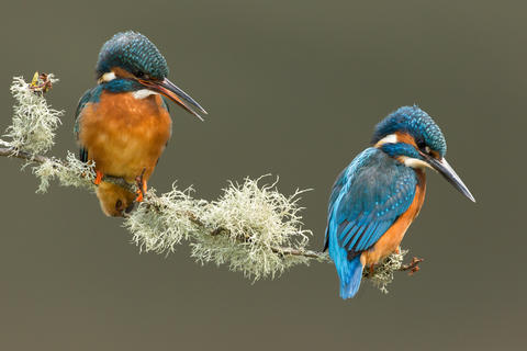 Pair of kingfishers by Craig Richardson, Best Portrait Category