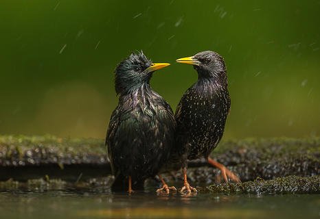 Starlings by Terry  Wall, Garden Birds  Category