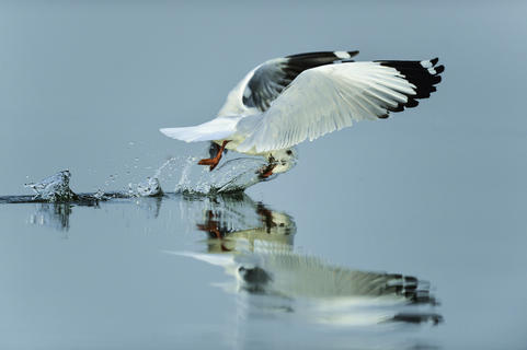 Gottcha... by Chandrabhal Singh, Bird Behaviour  Category