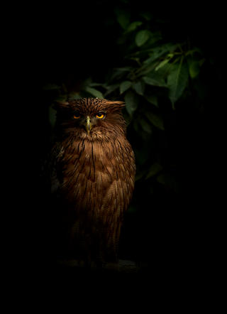 Brown fish owl by Chandrabhal Singh, Creative Imagery Category