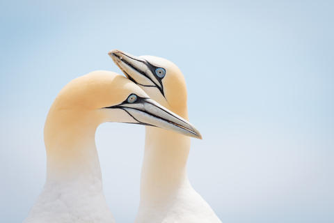 Love by Jacques Andre Dupont, Bird Behaviour  Category