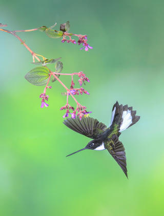 Collared inca hummingbird by Rick Beldegreen, Birds in Flight Category