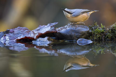 Nuthatch by Alex Meek, Garden Birds  Category