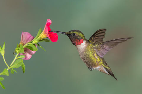 Ruby throated hummer by Rick Beldegreen, Garden Birds  Category