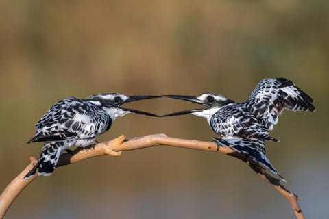 Diamond kiss by Hamad Bouresli, Bird Behaviour  Category