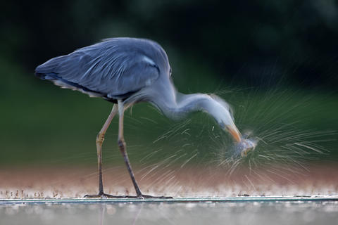 Sue flood heron by Sue Flood, Bird Behaviour  Category