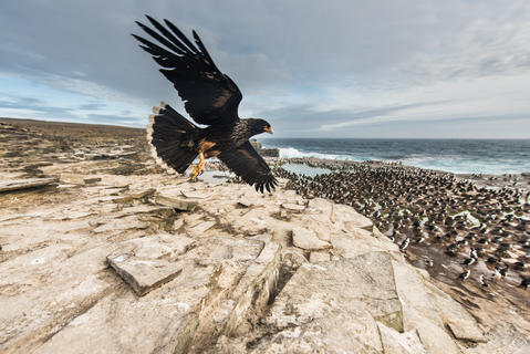 rma4204 by Roy Mangersnes, Birds in Flight Category