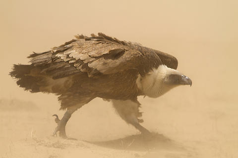Eagle in dust by Ahmad Alessa, Birds in the Environment  Category