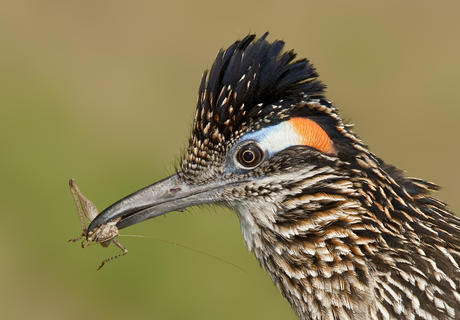 Greater roadrunner 29 ala by Alan Murphy, Best Portrait Category