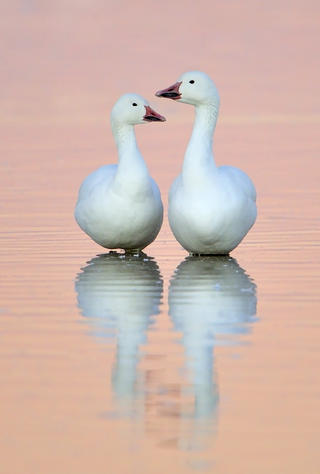 Snow geese 11 alan murphy by Alan Murphy, Best Portrait Category