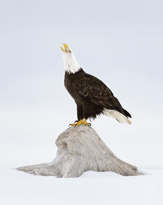 Bald eagle 35 alan murphy by Alan Murphy, Best Portrait Category
