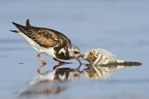 Ruddy turnstone 26 alan m by Alan Murphy, Bird Behaviour  Category