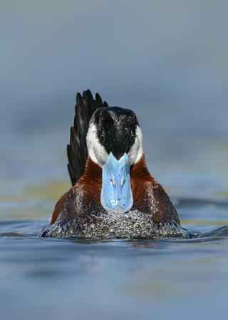 Ruddy duck 14 alan murphy by Alan Murphy, Bird Behaviour  Category