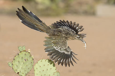 Greater roadrunner 50  al by Alan Murphy, Birds in Flight Category