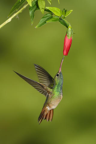 Buff-bellied hummingbird  by Alan Murphy, Garden Birds  Category
