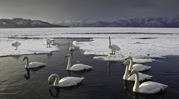 Whoopers in the ice by Graham Morgan, Birds in the Environment  Category