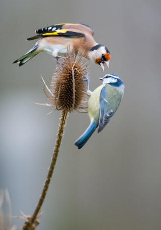 Angry goldfinch by Toby Houlton, Garden Birds  Category