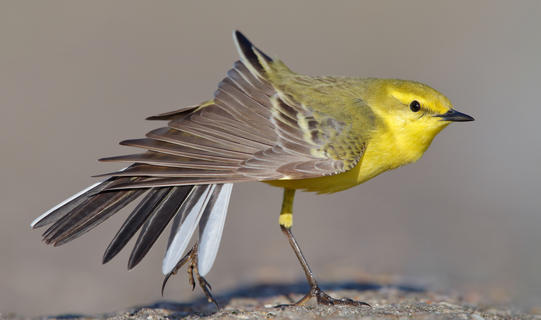 Yellow-wagtail by Nick Clayton, Bird Behaviour  Category