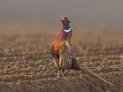Common pheasant  by Jamie Mac Arthur, Birds in the Environment  Category