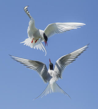 Arctic terns by Jamie Mac Arthur, Birds in Flight Category