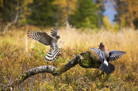 p2a8649 kopier by Pål Hermansen, Birds in Flight Category