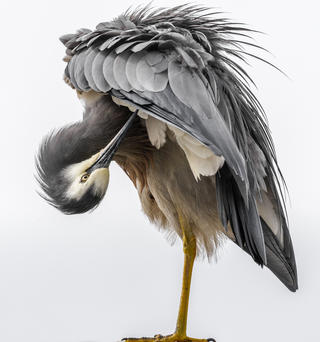 White-faced heron by Glenda Rees, Best Portrait Category