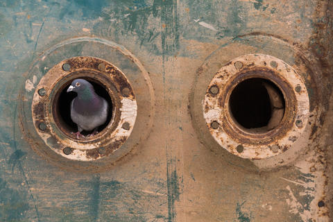 Pigeon in a flange by Mike Arreff, Birds in the Environment  Category