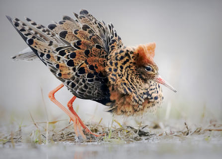 Ruff's lek by Niko Pekonen, Bird Behaviour  Category