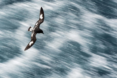 Cape petrel at high speed by Renato Granieri, Birds in Flight Category