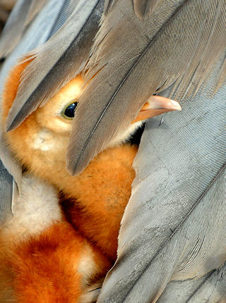 Peek-a-boo by Paul Hennessy, Bird Behaviour  Category