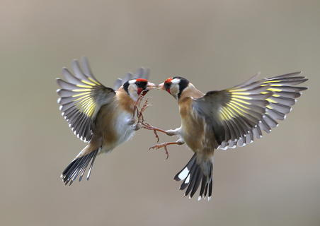 Goldfinch action by Neil Schofield, Bird Behaviour  Category