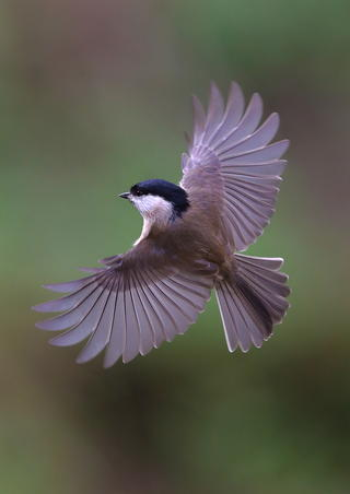 Marsh tit in flight by Neil Schofield, Birds in Flight Category