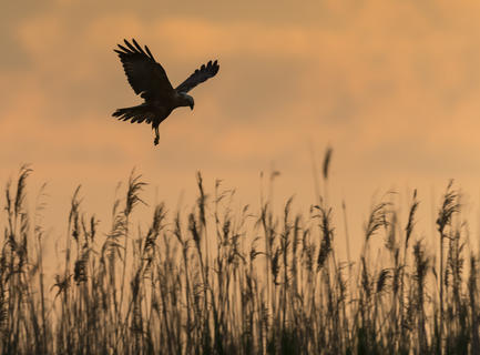 Marsh harrier at dawn by Alan Grant, Birds in the Environment  Category