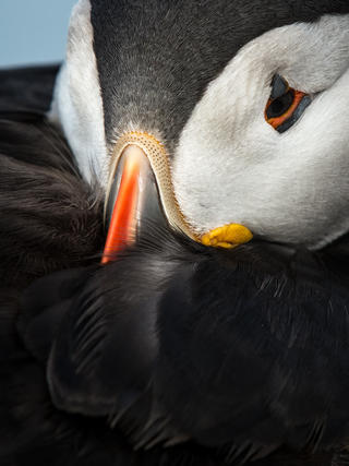 Roosting puffin by Elliot  Hook , Attention to Detail  Category