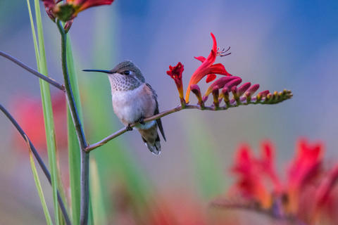 Rufous hummingbird juveni by Gerald Lisi, Best Portrait Category