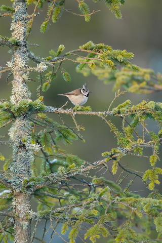 Crestie in a conifer by Kevin Sawford, Birds in the Environment  Category