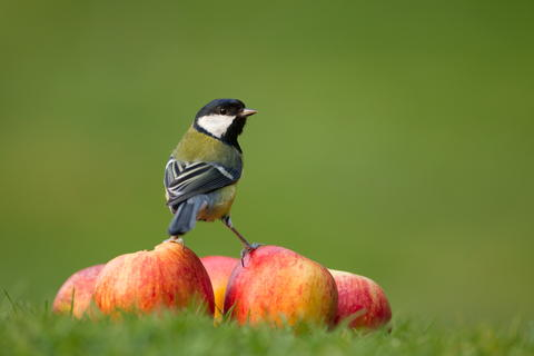Fruity great tit by Kevin Sawford, Garden Birds  Category