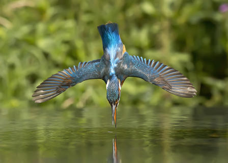 Dive by Gareth Whiston, Birds in Flight Category