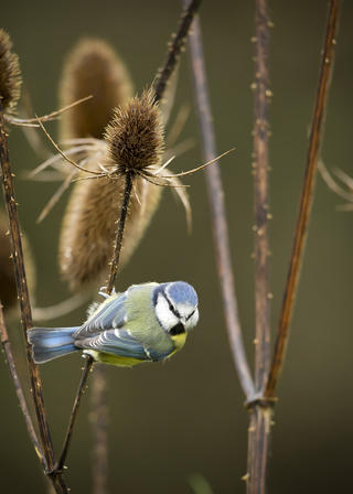 Blue tit stare by Gareth Whiston, Garden Birds  Category