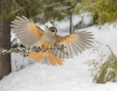 Siberian jay af2t6030 by Ron Mc Combe, Birds in Flight Category