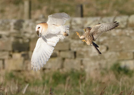 Kestrel and barn owl by Christopher Castling, Bird Behaviour  Category