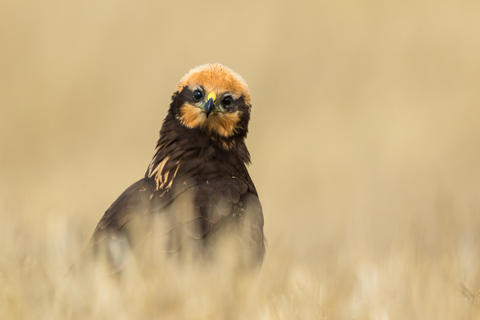 Western marsh harrier by Marc Albiac, Best Portrait Category