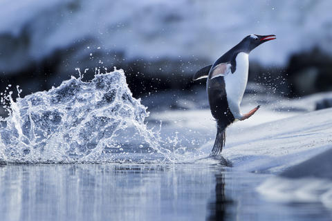 Leaping gentoo penguin by Paul Souders, Bird Behaviour  Category