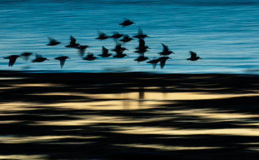 Oystercatchers at dawn by Robert Canis, Birds in Flight Category