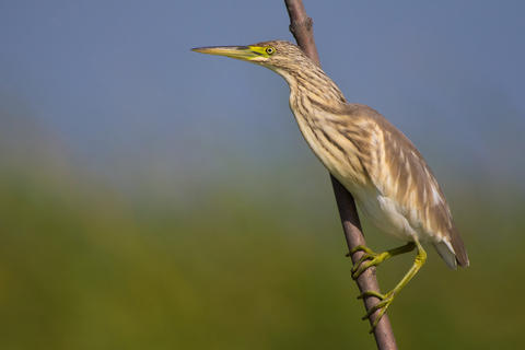 Squacco heron by Gabriel Ozon, Best Digiscoped Image Category