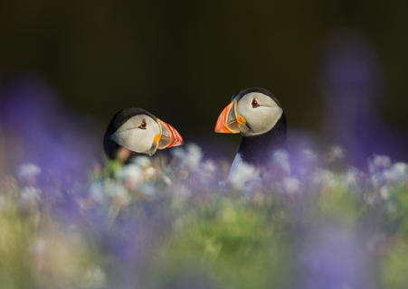 Puffins in spring flora by Paul Richards, Birds in the Environment  Category