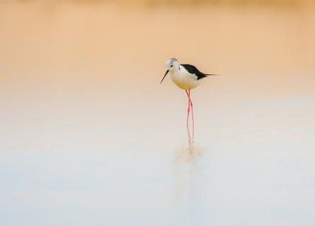 Simply stilt by Paul Richards, Birds in the Environment  Category