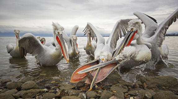 Dalmation pelicans  by Jenny Hibbert, Bird Behaviour  Category