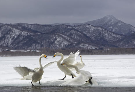 Squabbling whooper swans by Jenny Hibbert, Bird Behaviour  Category